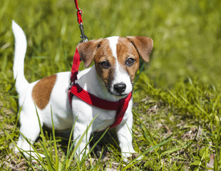 a walk in the park funny cute little dog in a leash - harness.Jack Russell Terrier