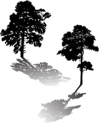 two large black pine silhouettes and shadows on white