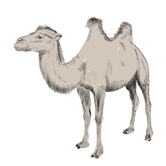 sketch of Bactrian camel on white background