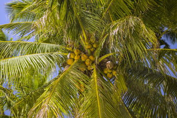 Palm tree and coconuts.