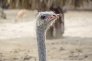 Struthio camelus head, Ostrich head