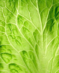 leaf of salad