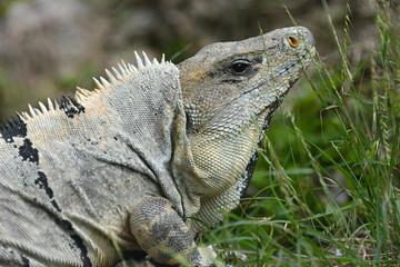 Head of iguana near Mayan archeological site Uxmal.