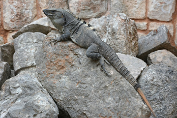 Iguana sits on the cliff near Mayan archeological site Uxmal.