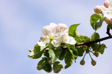 Spring Cherry or Apple flowers blossom tree branch on Sky background