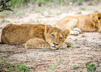 Laying Lion cub in the Kapama Game Reserve.
