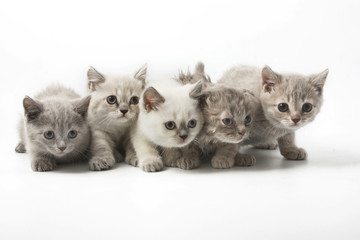 Portrait  group of young Scottish cats . Studio shot. Isolated.