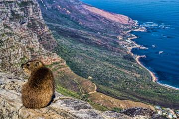 Klippschliefer auf dem Tafelberg