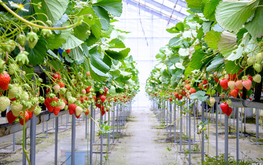 strawberry in  greenhouse farm in japan