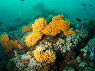 Reef scape with soft coral in Philippines