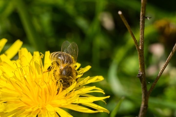 Пчела собирает мед с желтой цветочки макро