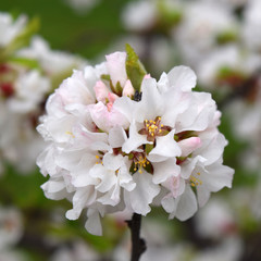 Japanese cherry blossom. Beautiful spring flowering