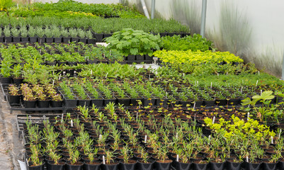 Rows of small plants inside a polytunnel