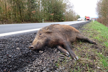 Car accident with wild boar on the road. Overpopulation of wild boars causes many problems.