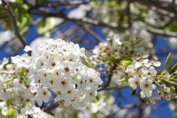 White Cherry Blossom tree flower clusters
