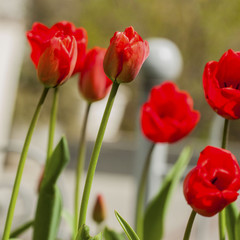 View through red tulips