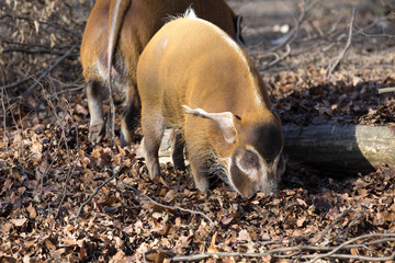 Red river hog, Potamochoerus porcus pictus, is the best representative of pigs