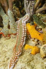 A bearded fireworm, marine bristleworm, Hermodice carunculata, underwater marine life, Caribbean sea