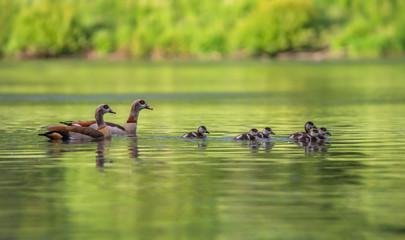 Nilgans Familie auf dem See