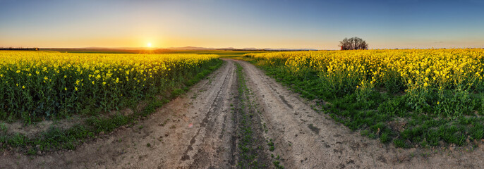 Rape Field with road at sunset, panorama