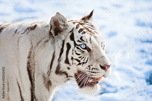 White tigers in snow with blue eyes