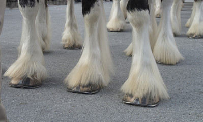 Clydesdale Hooves