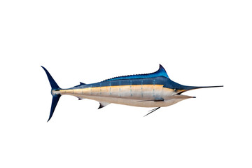 Marlin - Swordfish,Sailfish saltwater fish (Istiophorus) isolate
