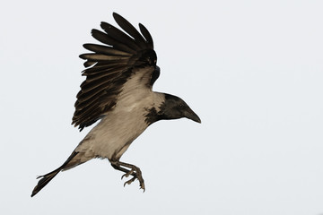 Hooded Crow Isolated