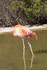 Greater Flamingo, Phoenicopterus ruber, the most colorful colored