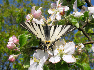 Iphiclides podalirius butterfly feeding on an apple tree blossom