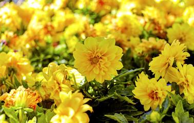 Yellow Dahlia Garden