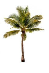 Coconut tree isolate with white background