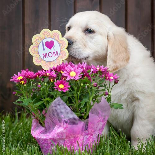 Golden retriever puppy with mums