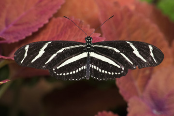 Butterfly 2016-19 / Zebra-tail butterfly on red coleus