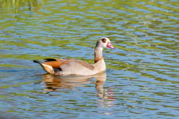 Nilgans (Alopochen aegyptiacus) auf einem Teich schwimmend in der Natur