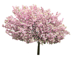 Blossoming pink sacura tree isolated on white