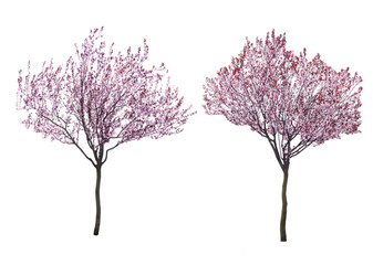 Blossoming pink trees isolated on white