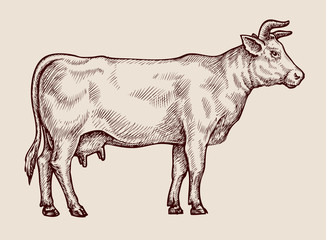 Sketch cow. Hand-drawn vector illustration