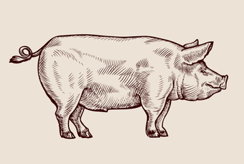 Sketch pig. Hand-drawn vector illustration
