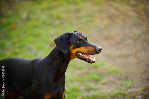 Doberman Pinscher Dog With Natural Ears And Black And Tan Markings