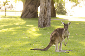 kangaroo, nature, vegetation, forest, australia, animal, wild, looking,grass,trees