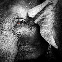 Close-up portrait of an elephant
