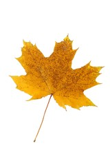 Autumn leaf isolated on a white