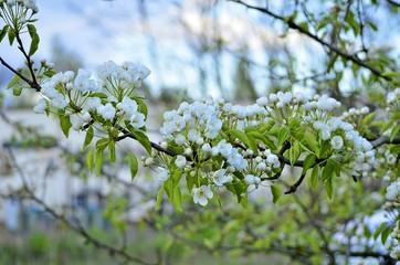 Weiße Blüten am Zweig