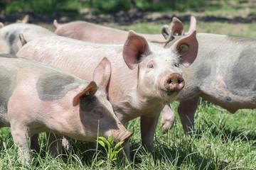 Schweinchen auf der Wiese, Bioferkel im Freilauf
