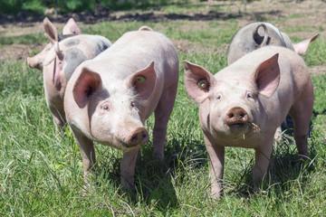 Glückliche Ferkel auf der Wiese, Glücksschweine