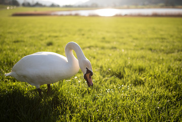 Schwan frisst vor seinem See