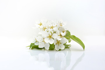 Pear spring flowers on white background
