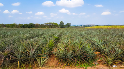 pineapple plantation under blue sky in Thailand