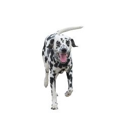 running dog -- isolated on white background